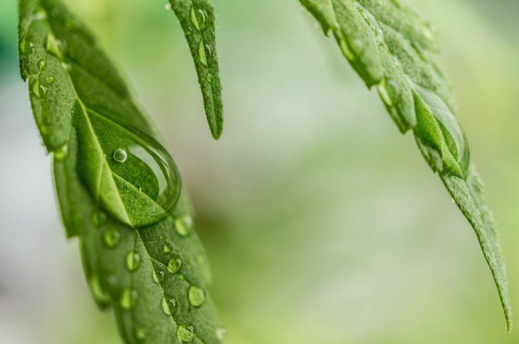 Sehr populär: CBD Produkte ohne THC