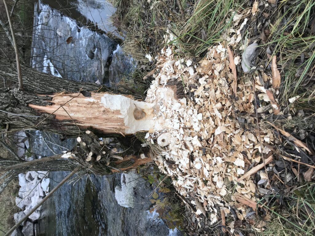 Biber Baum Tösstal